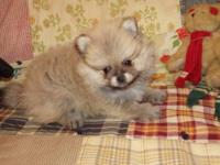 Adorable Pomeranian female AKC Wolf Sable puppy. This