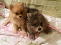 Pomeranian CKC 2F POP 1st shot and dewormed Mom is 4lb