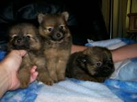 Description Pomeranian (CKC) pups 3 brown/black girls