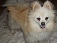 Pomeranian - Cloud - Small - Adult - Male - Dog I am a