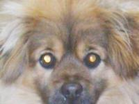 Pomeranian - Cody - Small - Baby - Male - Dog Cody is a