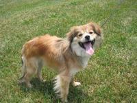 Pomeranian - Copper - Small - Adult - Male - Dog