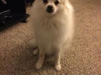 Hello I have a male Pomeranian that I need to rehome.