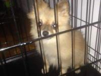 Hello I have a male Pomeranian dog he one years old he