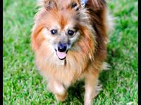 Pomeranian - Dover - Small - Senior - Male - Dog  Can