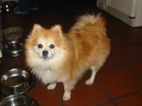 Pomeranian - Dusty - Small - Adult - Male - Dog Dusty