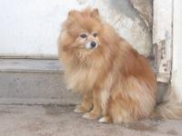 Pomeranian - Elizabeth - Small - Adult - Female - Dog