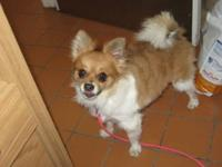 Pomeranian - Evana****adopted**** - Small - Adult -