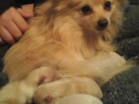 Beautiful Pomeranian puppies born 4/7/15. We have three