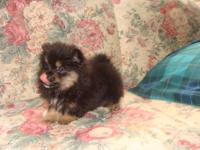 For Sale: 2 Female Pomeranian purebred puppies no
