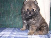 I have one Female Pomeranian puppy left. Ready to go to