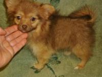 Very sweet Pomeranian female puppy available. She has