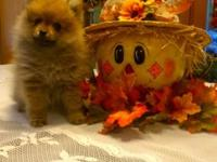 Adorable female pomeranian pully looking for her new