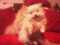 Beautiful, healthy, white, female Pomeranian puppy. She