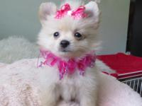 Beautiful Pomeranian puppies they are both females,