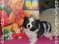 Fluffy is a CKC registered female Pomeranian puppy born
