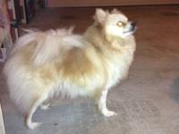 Pomeranians for sale $ 615 male/female party