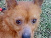 Pomeranian - Foxy - Small - Senior - Female - Dog Foxy