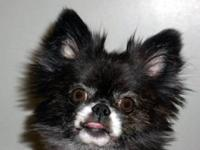Pomeranian - Foxy - Small - Young - Male - Dog Look at