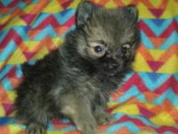 Rosie is a 8 week old registered red sable Pomeranian.