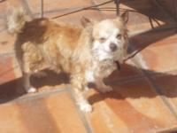 Pomeranian - Haye (wonderful Pom) - Small - Senior -
