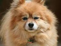 Pomeranian - Kc - Small - Adult - Female - Dog This