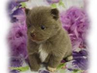 Lavender with a little white on feet. Male puppy. ACA