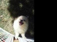 Pomeranian - Lucas-adopted!!! - Small - Baby - Male -