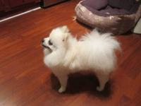 Beautiful 2 year old male Pomeranian White/cream color.
