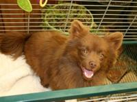 I have an extremely sweet Pomeranian male, chocolate