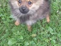 Male Pomeranian dog, vet inspected, has his 3 sets of