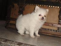 AKC registered Pomeranian puppies - - - males only - -