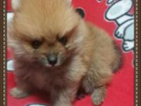 Two pomeranian puppies both males that were born August