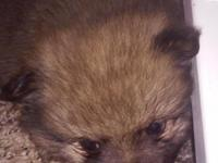CKC Registered Pomeranian Puppies $600 each 4 males