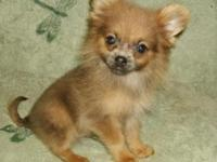 Two sweet Pomeranian male puppies available. They have