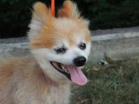 Pomeranian - Martie - Small - Adult - Male - Dog Hi my