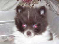 Pomeranian chocolate/white parti girl, born 3-18-15,