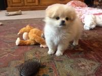 Adorable female Peek-a-Pom $850/ or best offer 12 weeks
