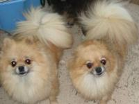 Pomeranian - Poms - Small - Adult - Female - Dog A