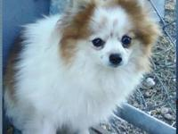 Pomeranian - Powder Puff - Small - Adult - Female -
