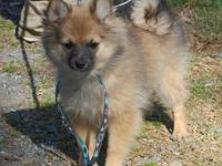 12 1/2 week old female wolf sable Pom baby looking for