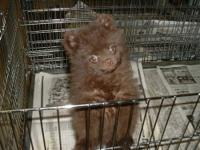 POM PUPPY MALE, AND FEMALE. DOB 4/29/12. THEY WILL