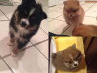 I have 2 litters of lovely Pomeranians. I have 5