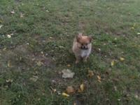 Pomeranian puppies, CKC, registered. Very, very cute,
