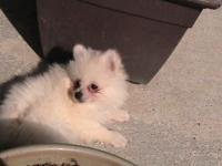Pure breed Pomeraia puppies 9 weeks old.Two Males one