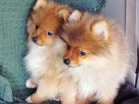 Beautiful and Healthy AKC Pomeranian males. We have 3