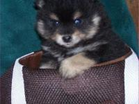 We have Pomeranian puppies available now! Males and