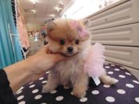 Pomeranian puppies are tiny and cute balls of fur. Each