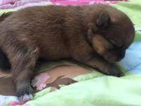 Beautiful litter of Pomeranian pups born Oct 14th.