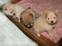 AKC REGISTERED POMERANIANS. 1 orange sable male born